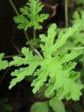 香茅油叶子 库存照片