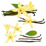 香草Planifolia花和香草荚或者豆 冰淇凌味道 也corel凹道例证向量 背景查出的白色 免版税库存图片