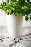 香菜生长在一纸杯的香菜草本 库存照片
