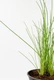 香葱在一个罐的厨房草本在白色背景 图库摄影