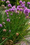 香葱种植与花 免版税库存照片