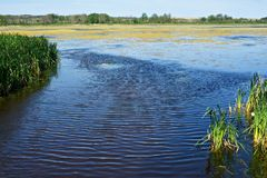 香蒲和沼泽 库存图片