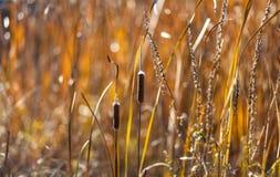 香蒲和芦苇在日落 免版税库存图片