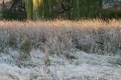 香蒲在一个冷的冷淡的早晨 库存图片