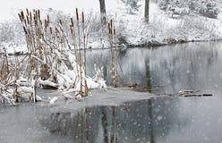 香蒲在新鲜的雪盖的一个冻池塘偷偷靠近 免版税库存图片