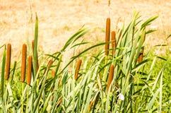 香蒲开花植物软的焦点  免版税图库摄影