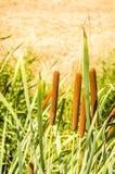 香蒲开花植物软的焦点  库存图片