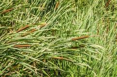 香蒲开花植物软的焦点  库存照片