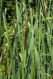 香蒲latifolia,共同的纸莎草,阔叶烟草的香蒲,巨大reedmace,木桶匠` s芦苇,有riping的植物播种特写镜头 库存图片