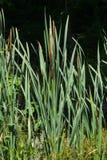 香蒲latifolia,共同的纸莎草,阔叶烟草的香蒲,巨大reedmace,木桶匠` s芦苇,有riping的植物播种特写镜头 免版税库存照片