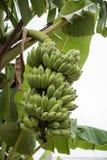 香蕉不是成熟的在树 免版税库存照片