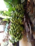 香蕉分支  库存照片