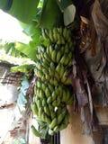 香蕉分支  免版税库存图片