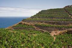 香蕉加那利群岛la palma种植园 库存照片