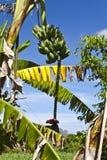 香蕉古巴 库存图片