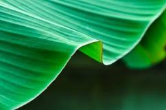 香蕉叶子。 免版税库存照片