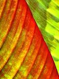 香蕉叶子关闭 免版税图库摄影