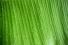 香蕉叶子和下落雨水自然背景特写镜头摘要  免版税图库摄影