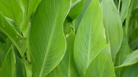 香蕉叶子墙壁 大热带新鲜的绿色香蕉树叶子 自然热带异乎寻常的背景 股票视频