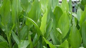 香蕉叶子墙壁 大热带新鲜的绿色香蕉树叶子 自然热带异乎寻常的背景 股票录像