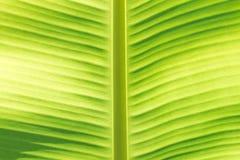 香蕉叶子宏指令 库存图片