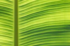 香蕉叶子宏指令 免版税库存照片