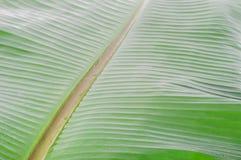 香蕉叶子用水 库存图片