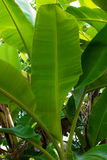 香蕉叶子的上面 免版税库存照片