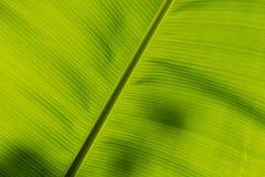 香蕉叶子的下面 库存图片