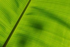 香蕉叶子的下面 免版税库存照片