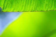 香蕉叶子纹理,绿色和新,选择聚焦特写镜头  免版税库存图片