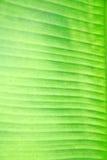 香蕉叶子纹理 免版税库存照片