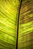 香蕉叶子纹理 免版税图库摄影