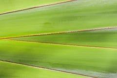 香蕉叶子纹理 库存照片