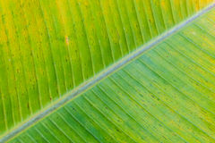 香蕉叶子纹理 免版税库存图片