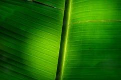 香蕉叶子耷拉 免版税库存照片