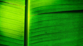 香蕉叶子耷拉 库存图片