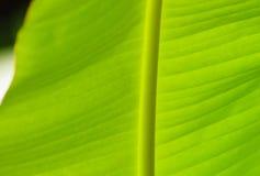 香蕉叶子背景 免版税库存图片