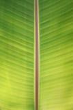 香蕉叶子背景 库存照片