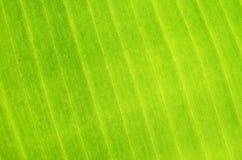 香蕉叶子,特写镜头细节  免版税库存照片