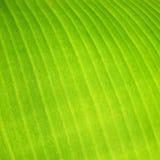 香蕉叶子,特写镜头细节  免版税图库摄影