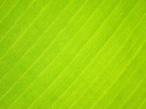 香蕉叶子,特写镜头细节  库存图片