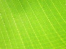 香蕉叶子,特写镜头细节  免版税库存图片