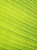 香蕉叶子,特写镜头细节  库存照片
