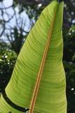 香蕉叶子结构细节  免版税图库摄影