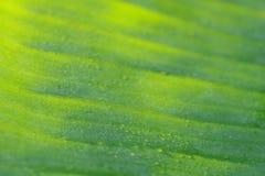 香蕉叶子绿色抽象背景在有薄雾的早晨, defoc 免版税库存照片