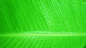 香蕉叶子绿色纹理 库存照片