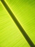 香蕉叶子/香蕉的季节照片离开背景 免版税库存图片