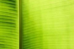 香蕉叶子 免版税库存照片