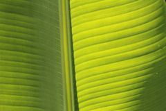 香蕉叶子 免版税库存图片